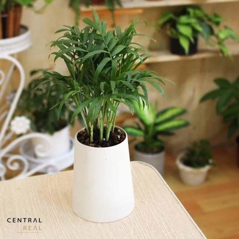 Cây cau tiểu trâm được trồng trong chậu trang trí nội thất