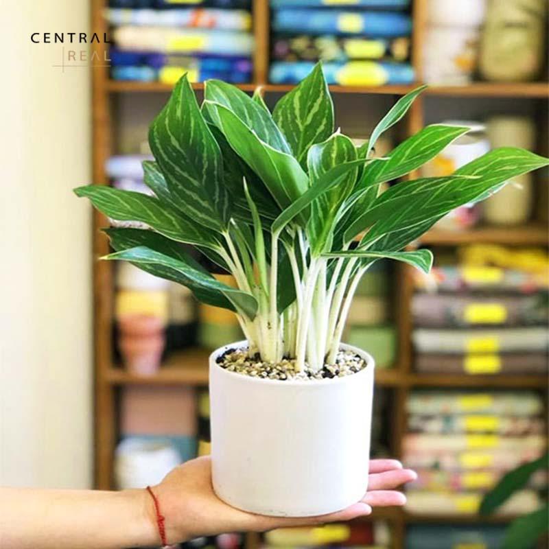 Bạch mã hoàng từ là cây xanh trong nhà được trồng đặt bàn